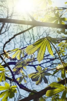 Free Sun Beams In Green Leaves Royalty Free Stock Photo - 20084945