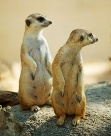 Free Two Meerkat Standing Stock Photos - 20085203