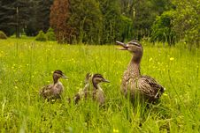 Free Ducks Royalty Free Stock Photos - 20085648