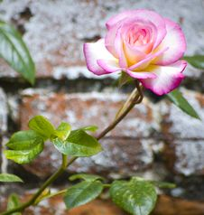 Rose Against Brick Wall Stock Images