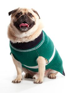 Free Sweater Pug Royalty Free Stock Images - 20086699