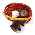 Free Little Kittens In Basket Royalty Free Stock Image - 20095226