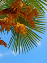 Free Blossoming Palm Tree Against A Blue Sky Royalty Free Stock Photo - 20098815