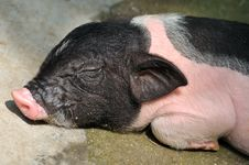 Free Face Of A Sleeping Piggy Stock Photo - 20091120