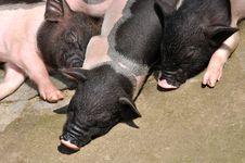 Free Three Cute Piggy In Sleeping Stock Photos - 20091123