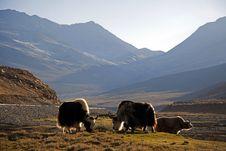 Free Tibetan Yaks Royalty Free Stock Image - 20091416