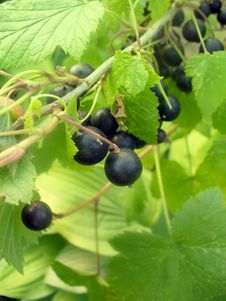 Free Black Currant Royalty Free Stock Image - 20092356