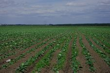 Cabbage Field With The Young Shoots Royalty Free Stock Photography