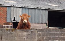 Free Brown Beef Bull Looking Over Wall Royalty Free Stock Photo - 20094145