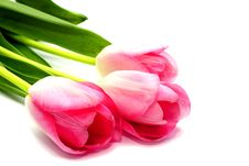 Free Fresh Pink Tulips Royalty Free Stock Image - 20094636