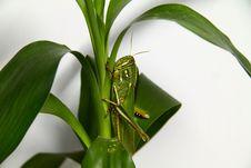 Free Fat Grasshopper Stock Photo - 20094910