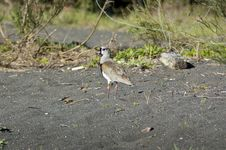 Free Southern Lapwing (Vanellus Chilensis) Stock Photos - 20095833