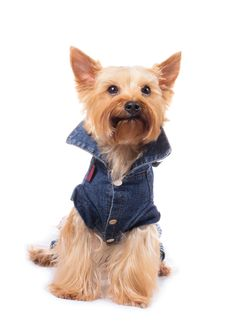 Free Yorkshire Terrier Royalty Free Stock Photo - 20096265