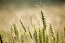 Free Wheat Stock Photos - 20096343
