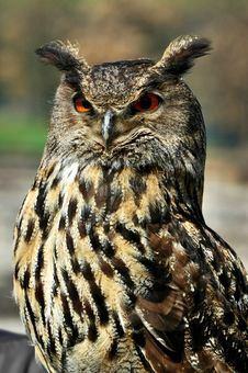 Free Great Horned Owl Royalty Free Stock Images - 20096769