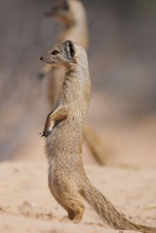 Free Yellow Mongoose Royalty Free Stock Photography - 20099277