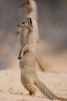 Yellow Mongoose Royalty Free Stock Photography