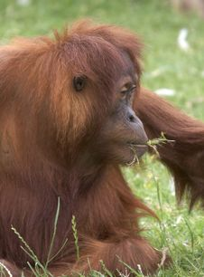 Free Orangutan Royalty Free Stock Photo - 2010525