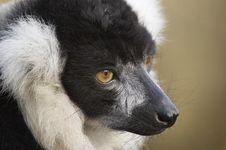 Free Lemur Profile Royalty Free Stock Photo - 2010705