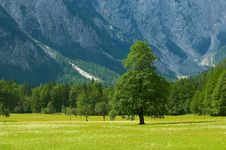 Free Old Tree In Alpine Valley Royalty Free Stock Photos - 2011148
