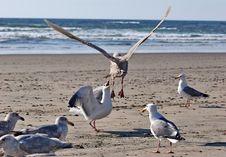Free Fighting Seagulls Stock Photos - 2011763