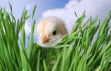 Baby Chick Hiding In Grass Stock Photo
