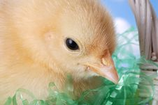 Free Easter Chicken In Basket Stock Photos - 2012613
