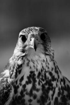 Free Hawk Stock Image - 2013611