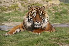 Free Sumatran Tiger Royalty Free Stock Images - 2015459