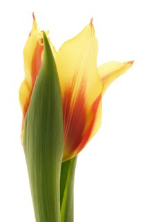 Free Tulip Stock Image - 2015591