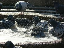 Free Pigeon Bath2 Stock Images - 2015814
