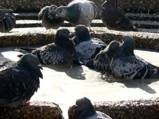 Free Pigeon Bath 5 Stock Photos - 2015953
