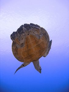 Curious Hawksbill Sea Turtle (endangered) Stock Image