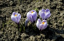 Free Crocus Royalty Free Stock Photos - 2016548