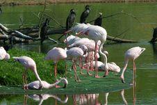 Free Flamingos Stock Photo - 2016590