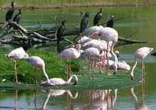 Free Flamingos Royalty Free Stock Image - 2016596