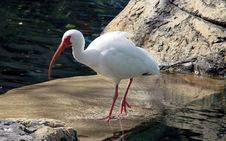 Free Ibis By Water Stock Photo - 2016870
