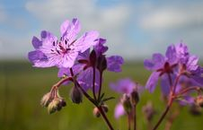 Wild Flower Royalty Free Stock Images