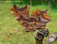 Free Butterfly Vanessa C-white (Poligonia C-album) Royalty Free Stock Photography - 2019517