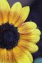 Free Backyard Sunflower Stock Photo - 20100340