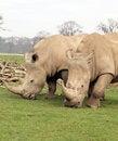 Free Two White Rhinos Eating Royalty Free Stock Photo - 20100385