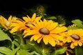 Free Bright Yellow Gerbera Daisies Stock Photo - 20101020