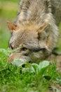 Free Grey Wolf Stock Image - 20101891