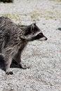 Free Raccoon (Procyon Lotor) Stock Photos - 20106003
