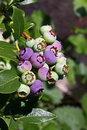 Free Blueberry Stock Image - 20107671