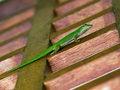Free Gecko Royalty Free Stock Photos - 20107898