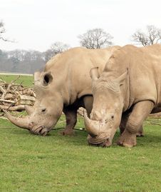 Free Two White Rhinos Eating Royalty Free Stock Photo - 20100385