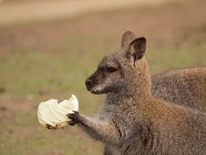 Young Wallaby Eating Royalty Free Stock Image
