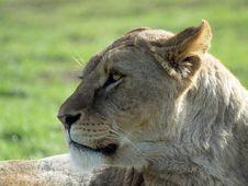 Free African Lioness - Panthera Leo Stock Photos - 20100533