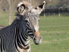 Free Grevy S Zebra Stock Photos - 20100573